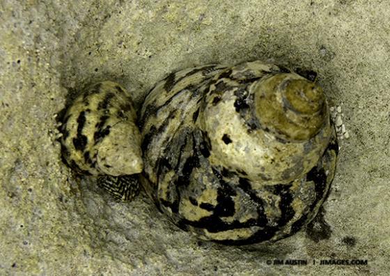 Turban Snails Jim Austin Jimages