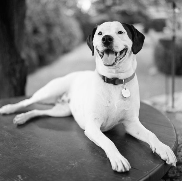 Ruby American Bulldog