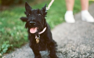 Scottie Puppy Tongue